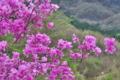 [ミツバツツジ][ツツジ科][ツツジ][躑躅][ピンク色の花]ミツバツツジ
