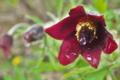 [オキナグサ][キンポウゲ科][翁草][うずのしゅげ][赤い花]オキナグサ