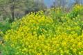 [菜の花][菜の花畑][アブラナ科][花畑][黄色い花]菜の花