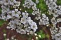 [ユキヤナギ][バラ科][雪柳][コゴメバナ][白い花]ユキヤナギ