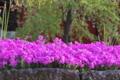 [芝桜][シバザクラ][総門][ピンク色の花][妙義神社]芝桜