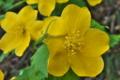 [ヤマブキ][バラ科][山吹][ワカバグモ][黄色い花]ヤマブキ