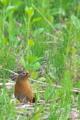 [ガビチョウ][チメドリ科][外来種][茶色い鳥][妙義神社]ガビチョウ