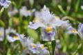 [シャガ][アヤメ科][一日花][単面葉][白い花]シャガ