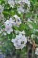 [リンゴ畑][リンゴ][老夫婦][白い花][岩村田]リンゴ畑