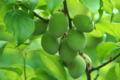 [梅畑][梅][ウメ畑][梅林][梅の里]梅畑