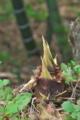 [タケノコ][筍][竹やぶ][竹林][モウソウチク]タケノコ