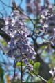 [キリ][ゴマノハグサ科][桐][大木][紫色の花]キリ