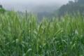 [麦畑][麦][ムギ][むぎ][青麦]麦畑