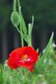 [ポピー][ケシ科][ヒナゲシ][雛芥子][赤い花]ポピー