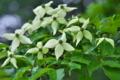 [ヤマボウシ][ミズキ科][山法師][ヤマグワ][白い花]ヤマボウシ