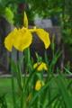 [アヤメが見頃][キショウブ][アヤメ科][黄色い花][妙義神社]アヤメが見頃