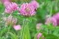 [ムラサキツメクサ][マメ科][アカツメクサ][クローバー][ピンク色の花]ムラサキツメクサ