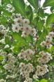[エゴノキ][エゴノキ科][チシャノキ][庭木][白い花]エゴノキ