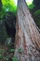 [奥の院][ヒノキ][檜][巨木][妙義山]奥の院