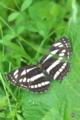[コミスジ][タテハチョウ科][ミスジチョウ][黒い蝶][妙義神社]コミスジ