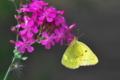 [モンキチョウ][シロチョウ科][ムシトリナデシコ][ピンク色の花][黄色い蝶]モンキチョウ