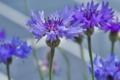 [ヤグルマギク][キク科][ヤグルマソウ][青紫の花][紫色の花]ヤグルマギク