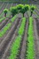 [コンニャク畑][蒟蒻畑][桑][青麦][こしね]コンニャク畑