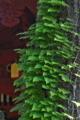 [シノブ][シノブ科][着生植物][総門][妙義神社]シノブ