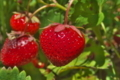 [イチゴ畑][苺畑][イチゴ][苺][バラ科]イチゴ畑