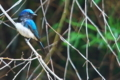 [オオルリ][ヒタキ科][大瑠璃][青い鳥][妙義神社]オオルリ