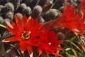 [白檀][ビャクダン][サボテン科][サボテン][赤い花]白檀