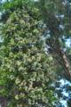[テイカカズラ][キョウチクトウ科][杉][林道][白い花]テイカカズラ
