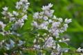 [ウツギ][ユキノシタ科][空木][白い花][妙義神社]ウツギ