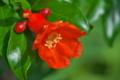 [ザクロ][ザクロ科][ミソハギ科][石榴][赤い花]ザクロ
