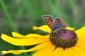 [ベニシジミ][シジミチョウ科][花畑][ルドベキア][黄色い花]ベニシジミ