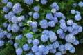[紫陽花][アジサイ][あじさい][木陰][青い花]紫陽花