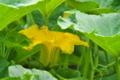 [カボチャ畑][カボチャ][南瓜][かぼちゃ畑][黄色い花]カボチャ畑