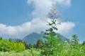 [タケニグサ][ケシ科][竹似草][夏草][白雲山]タケニグサ