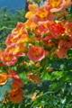 [ノウゼンカズラ][ノウゼンカズラ科][オレンジ色の花]ノウゼンカズラ