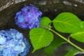 [紫陽花][アジサイ][あじさい][水盤][青い花]紫陽花