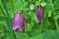[ヤマホタルブクロ][キキョウ科][山蛍袋][ホタルブクロ][紫色の花]ヤマホタルブクロ