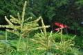 [トウモロコシ畑][トウモロコシ][とうもろこし][山寺][古寺]トウモロコシ畑