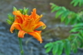 [ヤブカンゾウ][ユリ科][ワスレグサ属][高田川][オレンジ色の花]ヤブカンゾウ