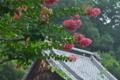 [サルスベリ][ミソハギ科][百日紅][ピンク色の花][不動寺]サルスベリ