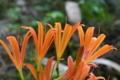 [キツネノカミソリ][ヒガンバナ科][狐の剃刀][オレンジ色の花][妙義神社]キツネノカミソリ