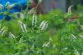 [マルバハッカ][シソ科][アップルミント][耕作放棄地][白い花]マルバハッカ