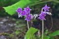[イワタバコ][イワタバコ科][岩壁][紫色の花][妙義神社]イワタバコ