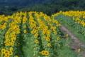 [ヒマワリ畑][向日葵][ヒマワリ][ひまわり][丘]ヒマワリ畑