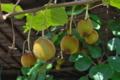 [キウイフルーツ][マタタビ科][納屋][軒下][キウイ]キウイフルーツ