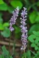 [ヤブラン][ユリ科][薮蘭][キジカクシ科][紫色の花]ヤブラン