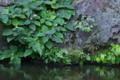 [弁天池][タマアジサイ][ユキノシタ科][紫色の花][妙義神社]弁天池