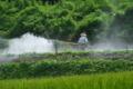[コンニャク畑][消毒作業][こんにゃく畑][蒟蒻畑][こしね]コンニャク畑