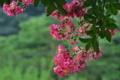 [サルスベリ][ミソハギ科][百日紅][ピンク色の花][妙義神社]サルスベリ