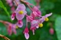 [シュウカイドウ][シュウカイドウ科][参道][ピンク色の花][妙義神社]シュウカイドウ